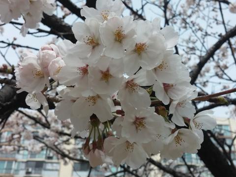 Cherry Blossom フォト