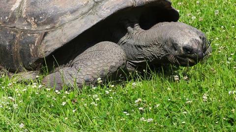 Aldabra Giant Tortoise (Aldabrachelys gigantea) Footage
