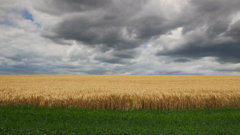 Wheat field before storm Footage