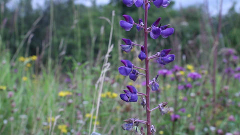 Flowering lupine close to Footage
