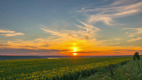 Sunset Sky over a Field of Sunflowers Footage