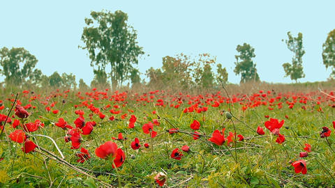 Cinemagraph of field of red anemones Filmmaterial