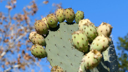 Mature Cactus fruits Footage