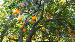 Mature flesh orange hanging in the tree Footage