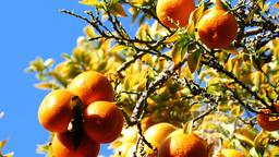 Mature Flesh Orange Hanging In The Tree stock footage