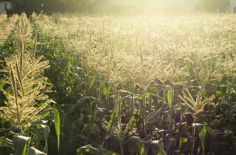 Corn fields with sunlight Foto
