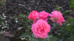 Pink rose in the garden. Pink roses in the park Footage