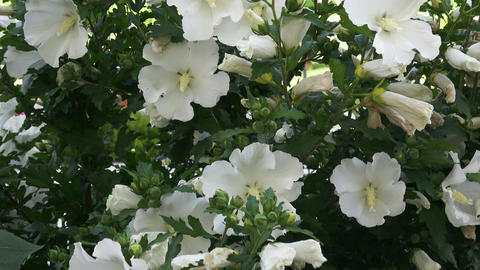 White hibiscus flower with dark green leaves on bush Footage