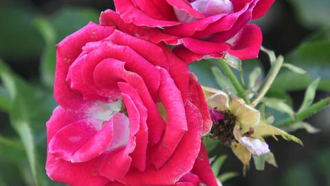 Red Roses on a bush in a garden. Red rose on the branch in a garden Footage