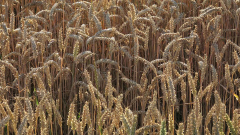 Yellow grain ready for harvest growing in a farm field Footage