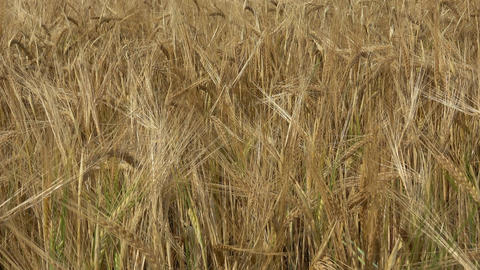 Field of barley. Yellow grain ready for harvest growing in a farm field Live Action