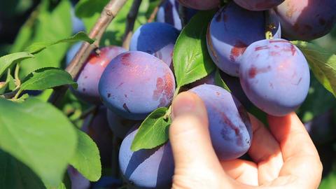 Harvesting of ripe plums 画像