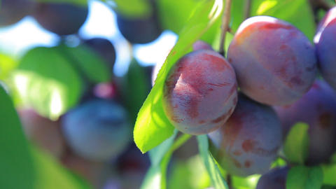 Ripe organic plums hang on a branch in the garden. Close up, shallow DOF Footage