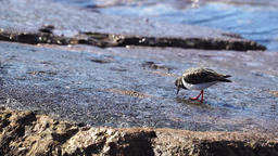 Common sandpiper (Actitis hypoleucos) Footage