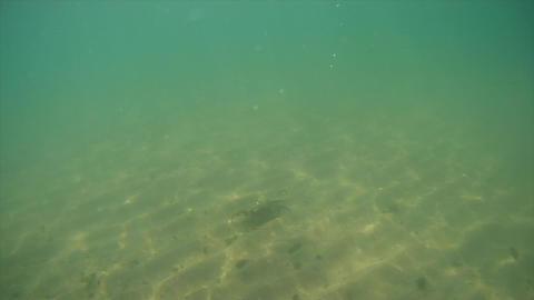 The crab descends to the seabed Acción en vivo