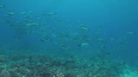 Big-eye Trevallies on a coral reef Footage