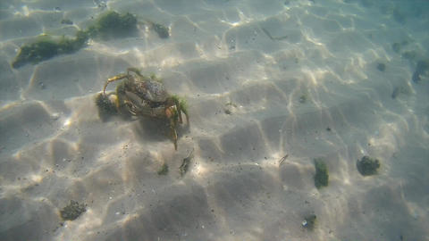 Crab crawls along the seabed in the Black Sea Footage