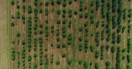 Apple trees from above Cinema 4k aerial view on a lot of apple trees in a apple  Footage