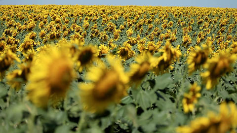 Large field with a harvest of sunflower Footage