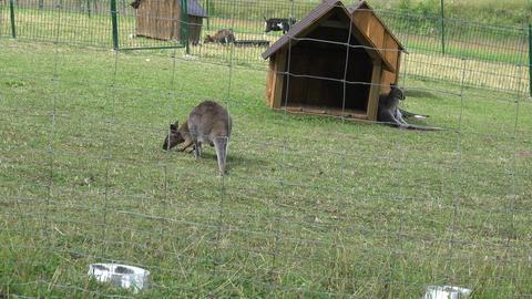 Kangaroo animals fenced in zoological garden Footage