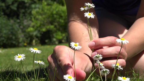 Woman hands pick small daisy flowers from lawn. 4K Footage