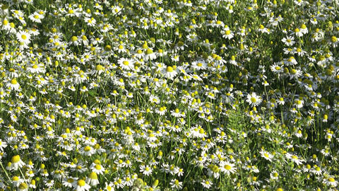 Chamomile flowers on a meadow in summer Live Action