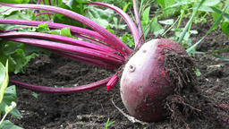 Ripe red beetroot laying on the ground. Beetroot in a vegetable garden Image