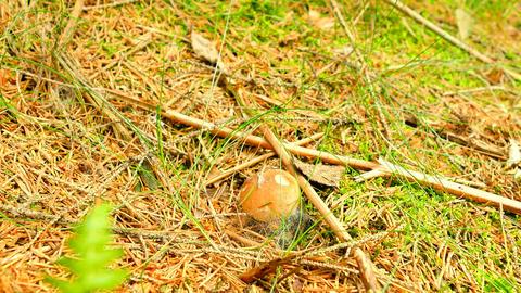 The mushroom hunting. Mushroom cut off by knife, mushroomer hands cut, clean and Footage