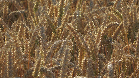 Field of rye. Close up yellow field of rye,agricultural concept. Yellow grain re Footage