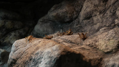Crickets on the rock Footage