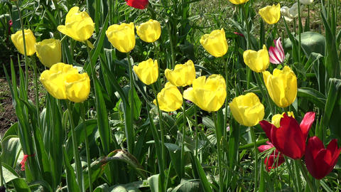 Watering yellow and red spring tulips in garden Footage