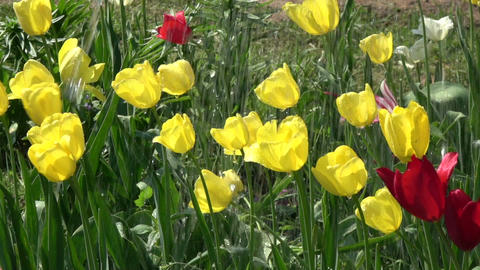 Watering yellow and red spring blossoming tulips, slow motion Footage