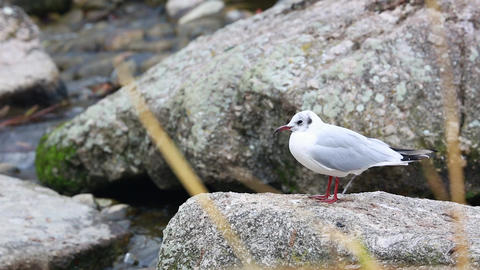 White Gull on the Rock Footage
