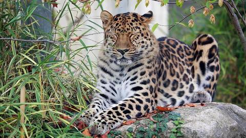 Amur Leopard Footage