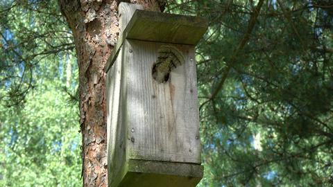 Pair Eurasian wryneck Jynx torquilla feeding juvenile in nesting box Footage