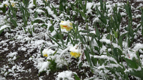 Late spring snowfall on blossoming narcissus flowers Footage