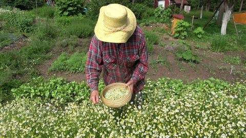 Senior pensioner woman picking fresh medical chamomile flowers Footage