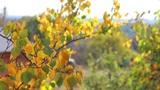 Autumn leaves 1 Footage