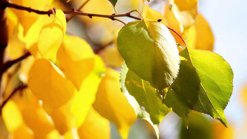 Autumn leaves 3 Stock Video Footage