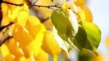 Autumn leaves 3 Footage