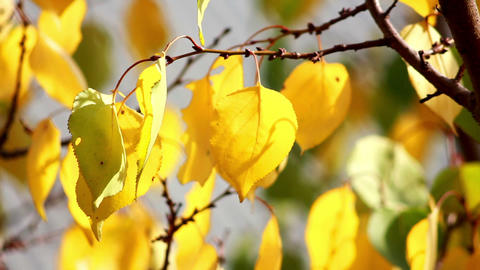Autumn leaves 7 Stock Video Footage
