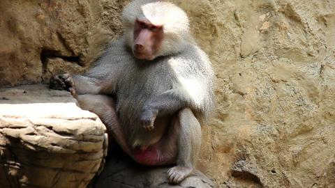 Monkey 01 Stock Video Footage