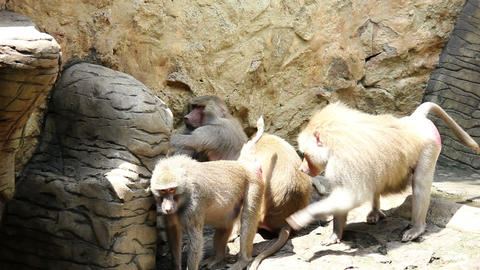 Monkeys 02 Stock Video Footage