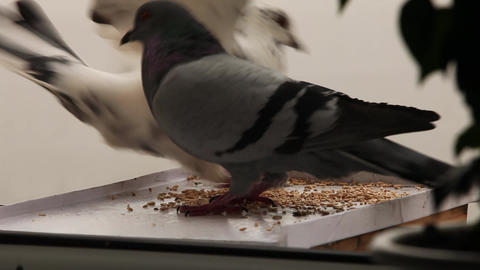 greedy pigeon Stock Video Footage