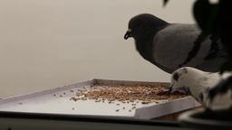greedy pigeon Stock Video Footage
