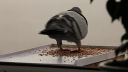 greedy pigeon Footage