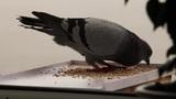 greedy pigeon Footage