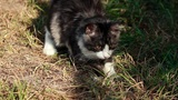 Cat Playing With Grass stock footage