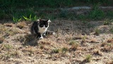 Cat on a plot playing with hunted locust Footage