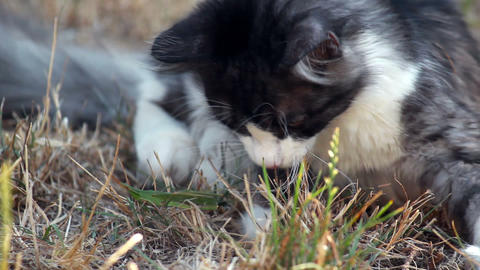 Cat on a plot playing with hunted locust Stock Video Footage